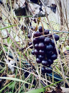 Lovely bunches of black albany surprise grapes ready to harvest